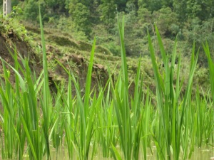 Rice plants nearly ready for harvest