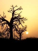 Sunset Behind a Baobab, the National Symbol of Senegal