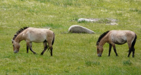 Przewalksi horses at the Khustain Nuruu National Park