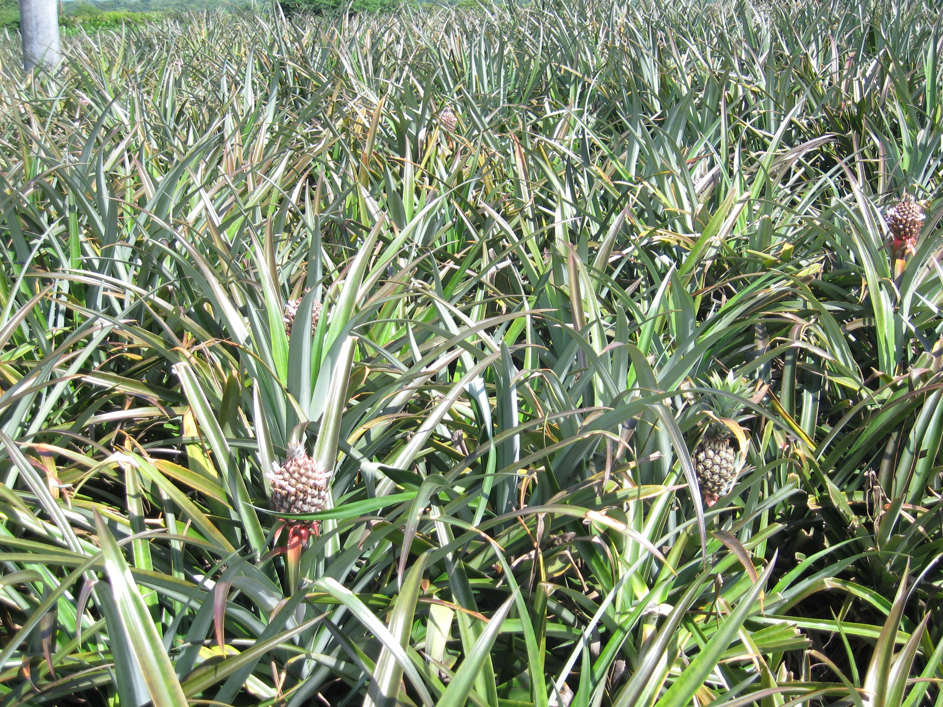 Pineapple Grows In The Field Of One AFODENICs Borrowers Earlier Day I Got To Taste Some Picked Fresh Out Another Clients Fields