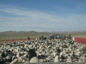 Stuck on a bridge, surrounded by a herd of sheep