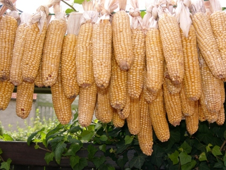 Corn Hanging