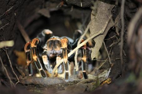 tarantula in Monteverde