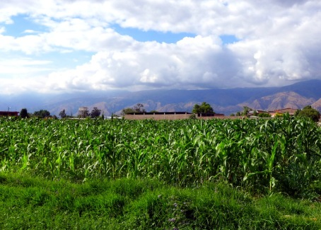 Maize growing in La Maica, heart of the Cochabamba Valley