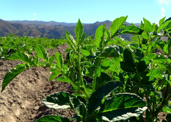 New potato crops enjoying the warm Bolivian sun