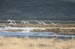 wild swans taking flight