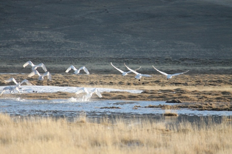 wild swans taking flight
